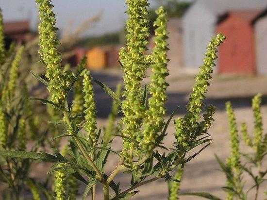 В Яшалтинском районе Калмыкии обнаружен очаг опасной травы