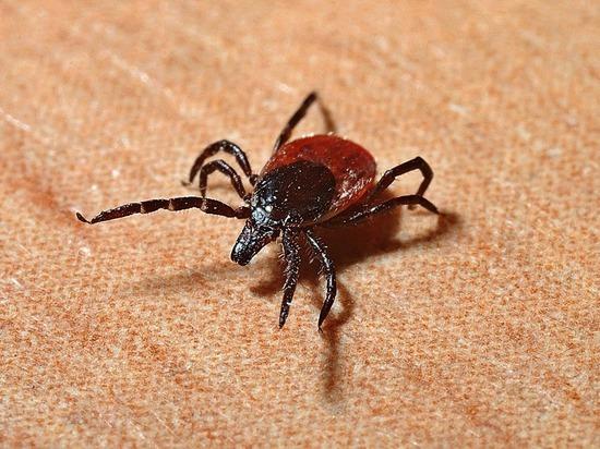 В Кировской области около половины клещей - переносчики опасной инфекции