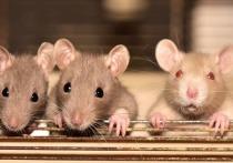 В Улан-Удэ «мусорки» около домов, подведомственных Супоне, атаковали крысы