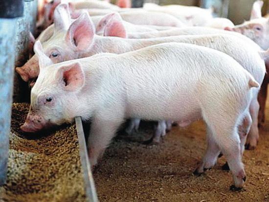 В Воронежской области свиней кормили ГМО