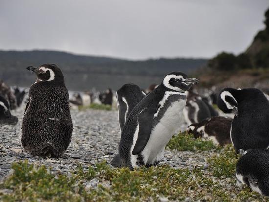 """Пингвины-""""левши"""" оказались агрессивнее """"правшей"""""""