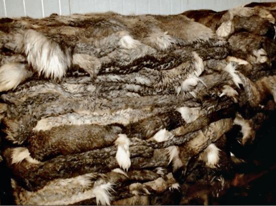 Оленьи шкуры из Надыма экспортируют в Финляндию