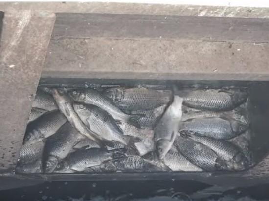В Астраханской обнаружили кладбище рыбы
