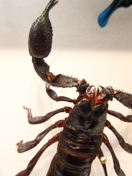 Яд скорпиона объявлен средством от туберкулеза