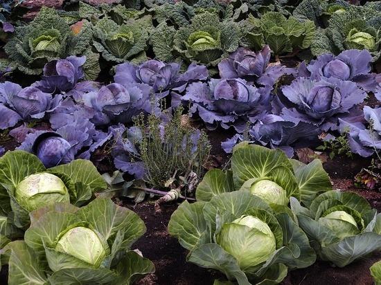 На Ставрополье увеличили финансирование овощеводства открытого грунта