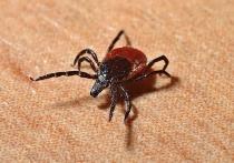 Почти 1,5 тысячи кировчан были укушены клещами за неделю