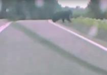 Красноярский адвокат встретил медведя под Балахтой
