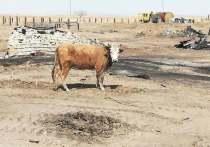 Компенсации за сгоревший скот в Забайкалье начнут выплачивать с 17 июня
