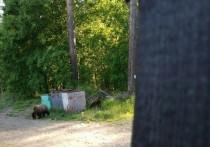 Под Железногорском застрелили двух агрессивных медвежат