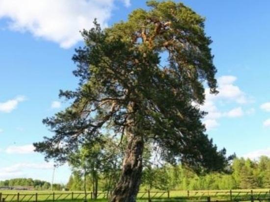 Сосна из Тейковского района может стать «Российским деревом года»