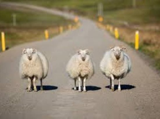 На калмыцкой дороге произошло ДТП из-за скота
