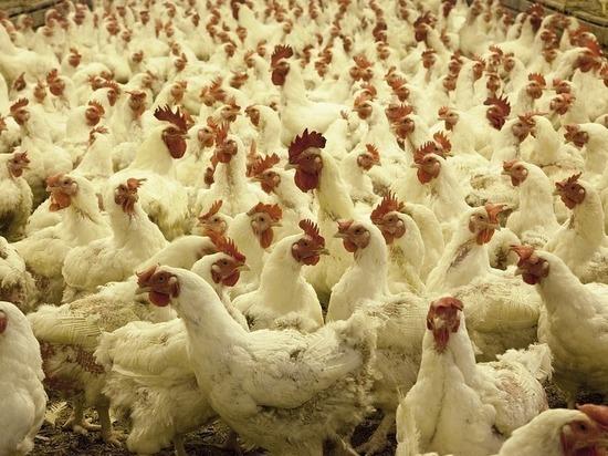 Китай заинтересовался российскими куриными лапками без кровоподтеков