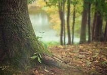 В Заокском лесничестве незаконно вырубили 8 крупных деревьев