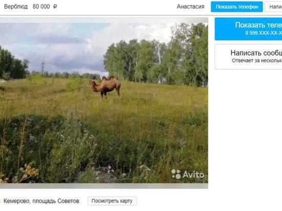 Жительница Кемерова решила продать своего верблюда