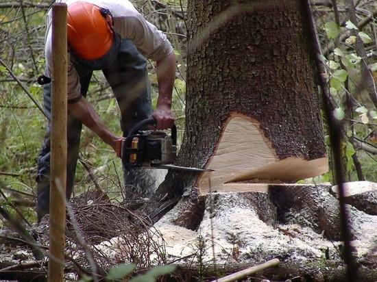 Бригада «черных» лесорубов вырубила в Ивановской области хвойные деревья на 2,5 млн. рублей