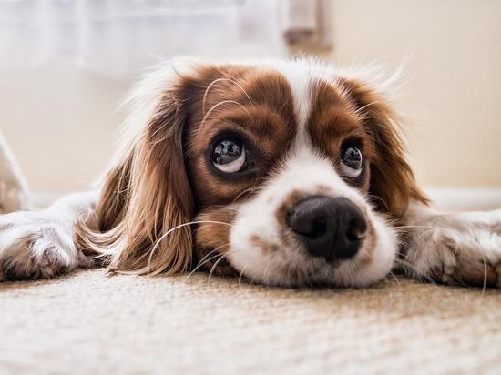 """Биологи выяснили, как у собак появились """"щенячьи глаза"""""""