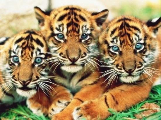 Выпущенные после реабилитации в тайгу ЕАО тигры чувствуют себя комфортно