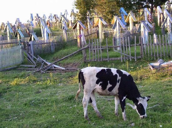 В Гвардейском районе  коровы повадились топтать Зоринское кладбище