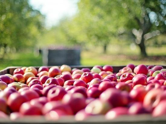 В Кирове уничтожено 315 кг польских яблок