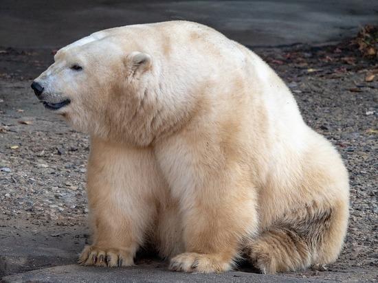 Нефтяная компания «Роснефть» приняла участие в спасении в Норильске двухгодовалой самки белого медведя, которая вышла к людям в поисках пропитания