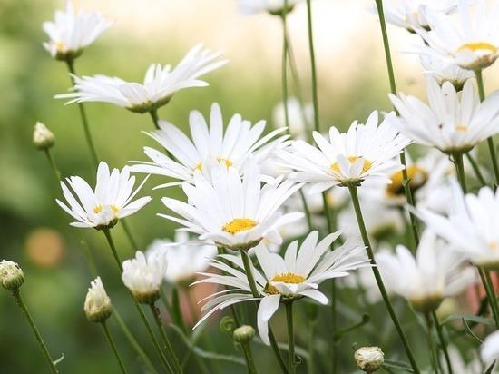 Принцесса сада: раскрыты секреты ухода за садовыми ромашками
