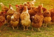 Брянская область планирует поставлять курятину в Японию