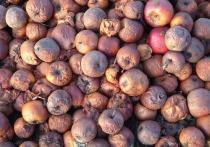 В Брянской области уничтожили 22 тонны яблок