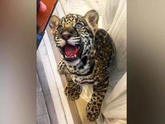 Звезда «Дома-2» продает очередного наскучившего дикого котенка
