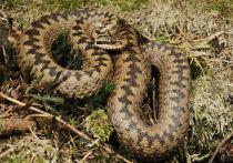 Ядовитая змея напала на 80-летнюю москвичку, когда та собирала клубнику у себя на участке