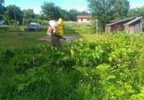 Цена борщевика: Тверская область рубит и травит зелёного монстра
