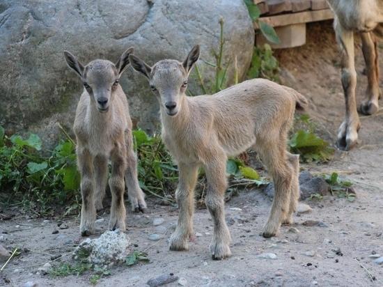 В Калининградском зоопарке на свет появились два винторогих козленка