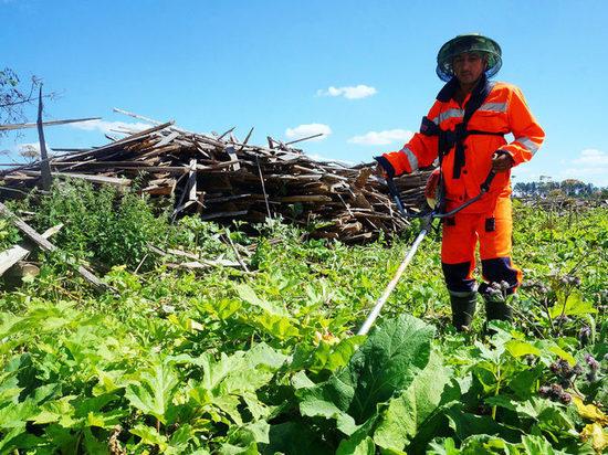 В Калининградской области на борьбу с борщевиком отправят безработных