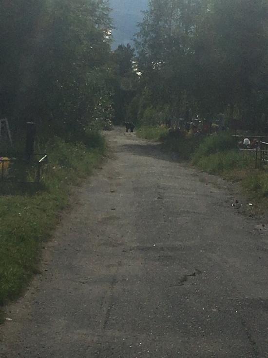 Осторожно: в карельском городе медведь гуляет по кладбищу