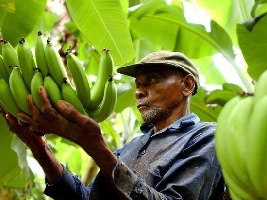 В Калининградскую область не пустили бананы из Коста-Рики