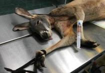 Сложную пластическую операцию по замене скакательного сустава провели кенгуру московские ветеринары
