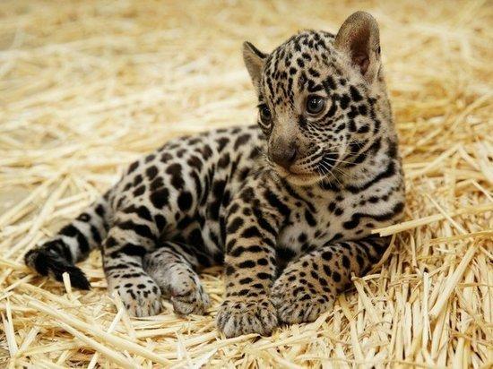 «Родился в Калининграде»: в интернете продают детёныша ягуара с поддельными документами