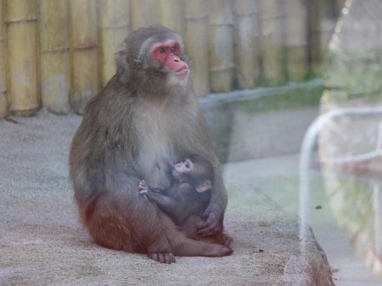 В Калининградском зоопарке родился японский макак