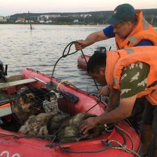 Наводнение в Иркутске: собак и коров спасали с помощью разведтехники