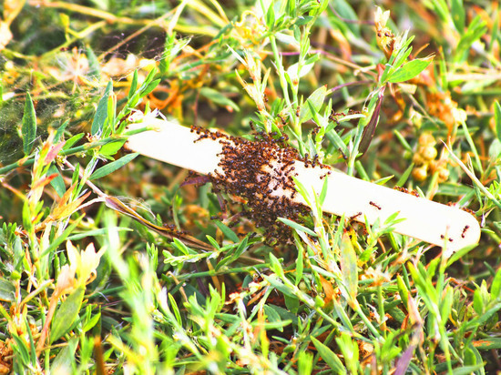 Названы эффективные способы борьбы с муравьями на волгоградских дачах