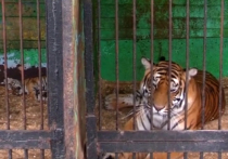 Мужчина, пытавшийся украсть тигренка в передвижном зоопарке в Оренбургской области, чуть не попрощался с рукой