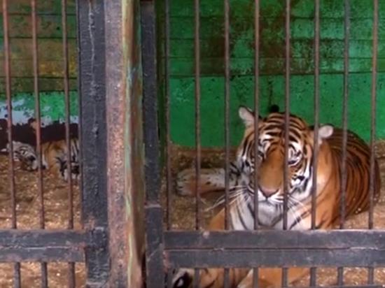 Хищница напала на посетителя, который пытался украсть ее тигренка
