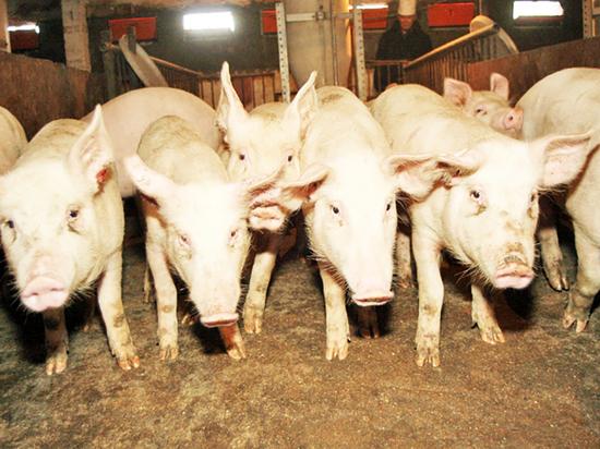 Почему Бурятии не хватает свинины