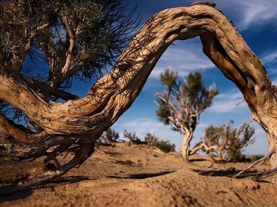 Саксаул может пережить зной пустыни, но не человеческую жадность