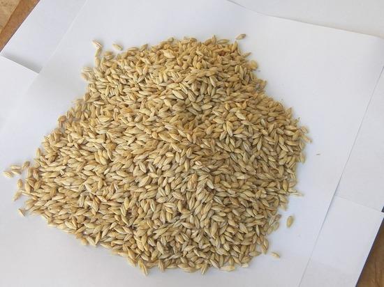 Вредные семена ячменя оказались в Тульской области