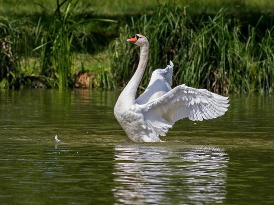 Лебедь убил собаку: хозяин не смог спасти