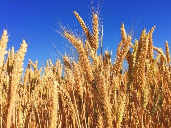 В 2019 году на Ставрополье повысилось качество пшеницы