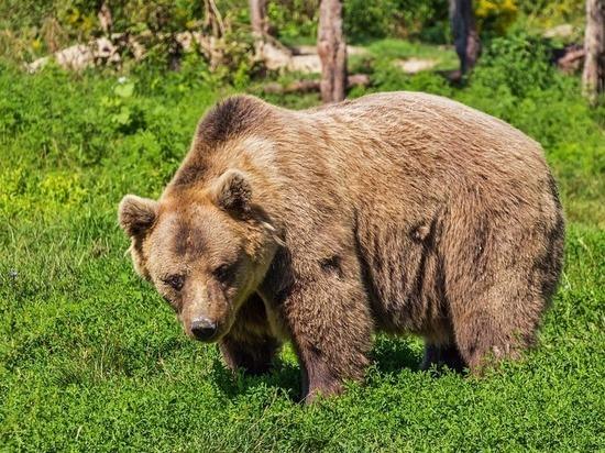 В Ленобласти водитель едва не врезался в выбежавшего на дорогу медведя