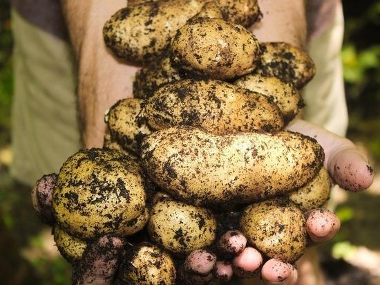 На Ставрополье ожидают небольшого роста урожая картофеля