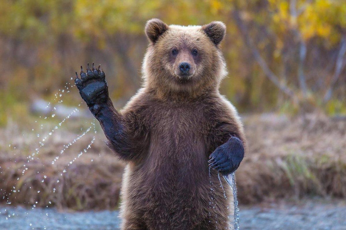 ланос картинка медведь машет лапой образом