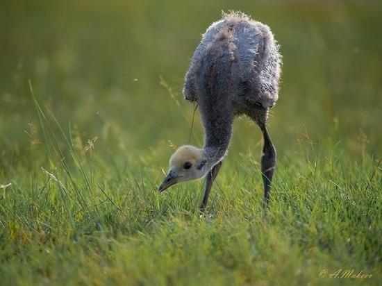 На озере Улуг-Холь у краснокнижных птиц подрастает потомство